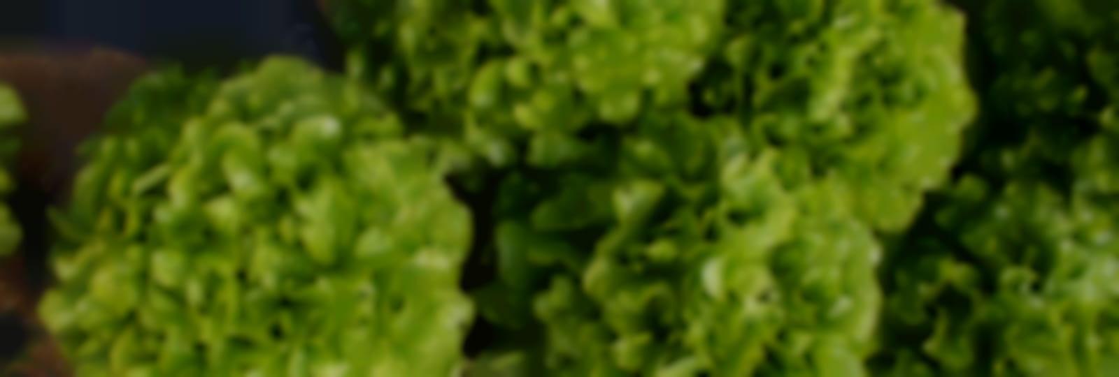 Salades Potagers de l'Ascanne